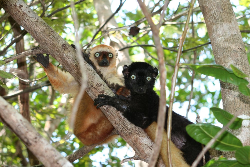283904 blue eyed%20black%20lemurs%20 %20please%20credit%20m.%20seiler 0130fb large 1530109553