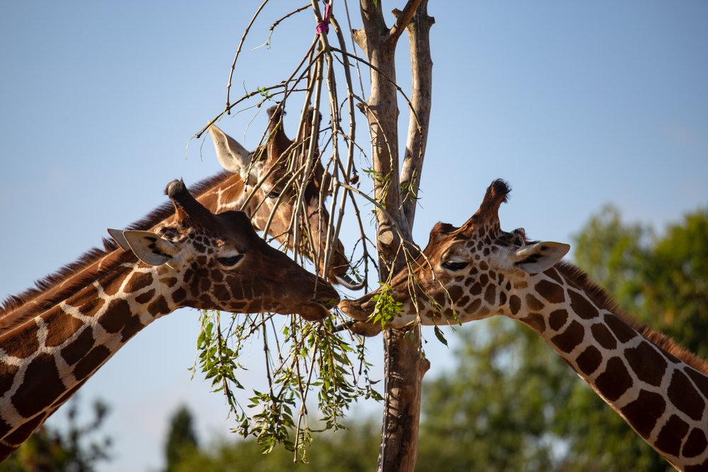 396991 jj giraffe %5b29.09.20%5d 16 7a3f38 large 1626346310