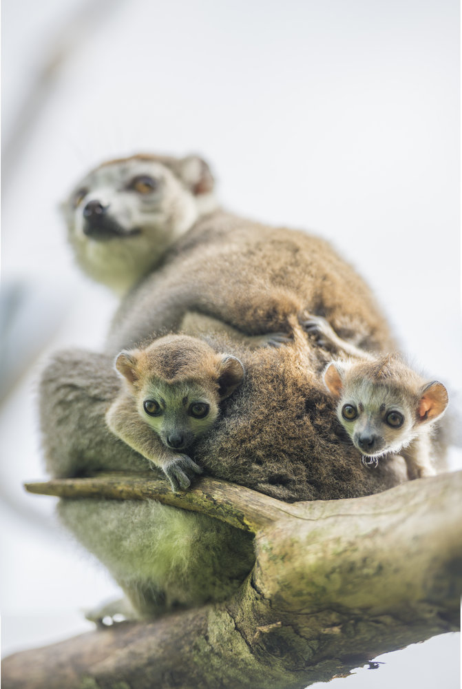396992 crowned%20lemurs%20by%20andre%20pattenden ff6820 large 1626346313