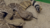 99526 snake3 medium 1367511712