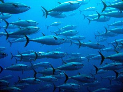 232095 tonijn 6b633a medium 1481617639